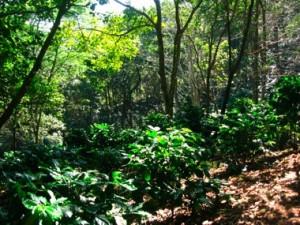森の中のコーヒー農園(背の低いのがコーヒーの木)
